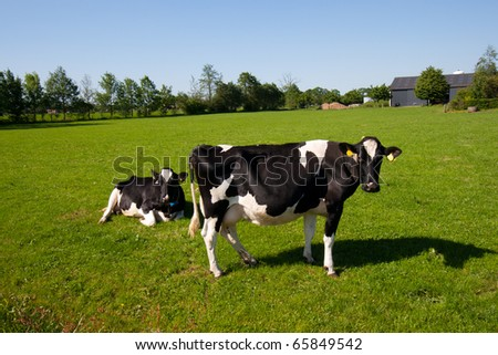Black and white cows on a farmland