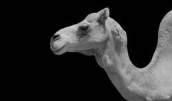 Black And White Cute Camels Face