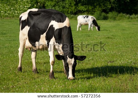 Black and white dairy cows grazing in lush green meadow