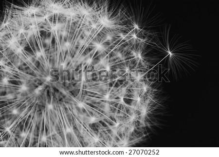 Black and white dandelion closeup