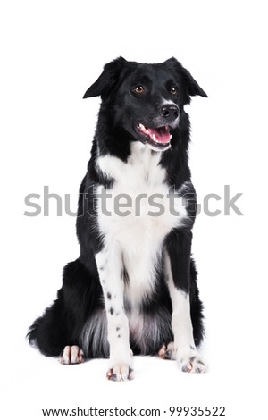 Black and white dog border collie full portrait isolated on white