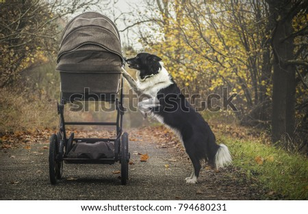 Black and White dog - Border Collie - Looking into Stroller