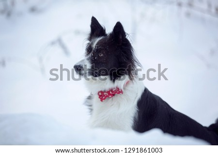 Black and white dog Border Collie with red bow collar with polka dots pattern in snow