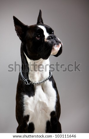 black and white dog breed boxer