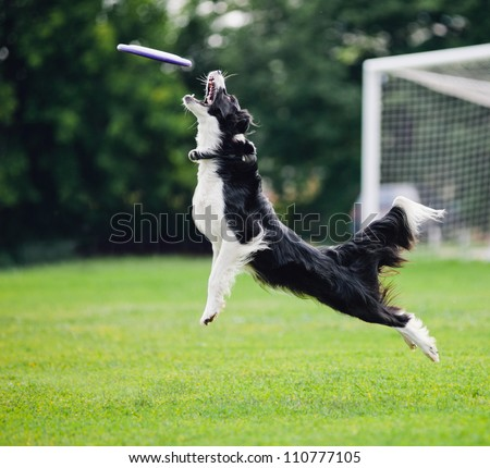 black and white dog catching disc in jump #110777105