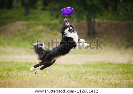 black and white dog catching disc in jump #112681412