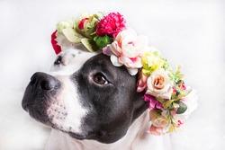 Black and white dog in a flower wreath. Four-legged loyal friend of man