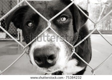 Black and white dog looking out from behind the wire mesh of his pen