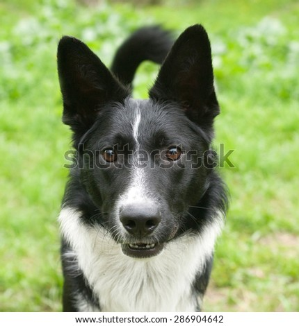 Black and white dog on background of green grass