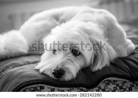 Black and white dog portrait on the bed