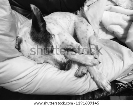 Black and white dog sleeping in a gray-scale picture