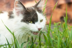Black and white domestic cat eating grass