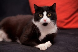 black and white domestic cat lying on black sofa with red pillow