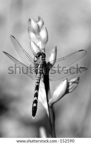 Black And White Dragonfly. stock photo : Black and white