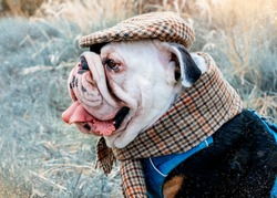 Black and white English Bulldog Dog wearing a cap out for a walk sitting in the grass