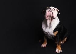 Black and white English Bulldog sitting  on black background