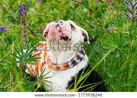 Black and white English Bulldog wearing a scarf out for a walk sitting in the grass