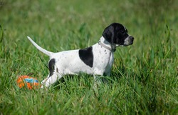 Black and White English Pointer dog cute puppy  standing
