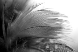 Black and white feather with white background