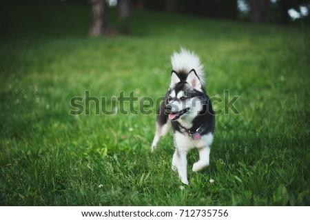 Black and White Female Alaskan Klee Kai Dog
