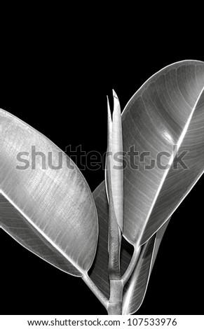 Black And White Fine Art Photo Of A Indian Rubber Bush (Ficus elastica) - stock photo