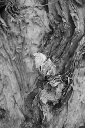 Black and White Fineart photography: Details and Texture of Tree in Black and White