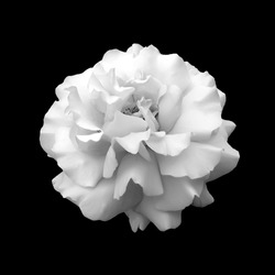 black and white flower rose. A close up isolated on a black background
