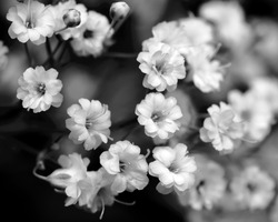 black and white flowers, baby's breath