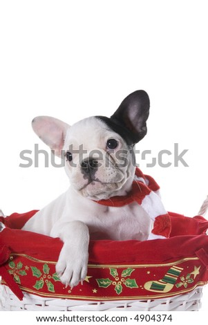 Black and white French Bulldog puppy in Christmas basket wearing red and white scarf isolated