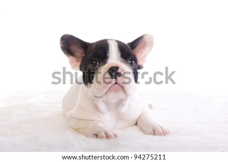 Black and White French Bulldog puppy on white background