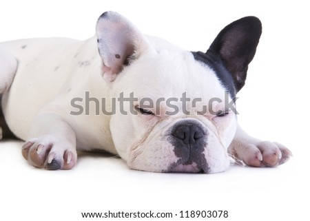 Black and white French bulldog sleeping isolated on white background