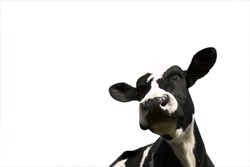 Black and white Friesian Cow on white background