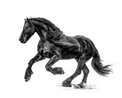 Black and White Friesian Stallion Running