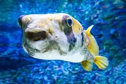 Black and white fugu fish