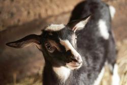 Black and white goat in barn. Domestic dwarf goat in the farm. Little goat standing in wooden shelter. Curious Little goat standing in wooden shelter. Little goats having fun inside a barn.