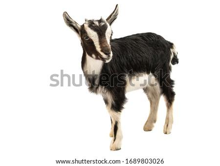 black and white goat isolated on white background stock photo