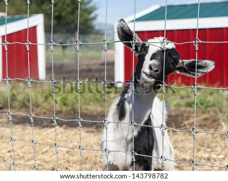 Black and white goat looking through a fence in the barnyard