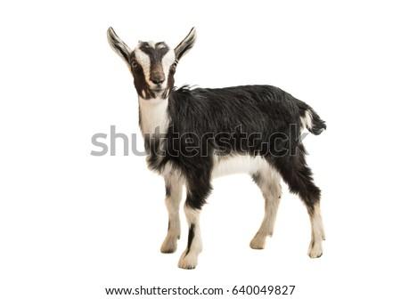 Black and white goat on white background stock photo