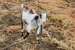 black and white goat with horns growing back on a leash grazes in the field. protection of animals, milk-giving animals