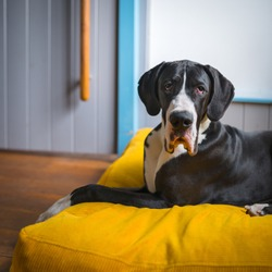 black and white Great Dane is lying on a yellow pillow in a house at home