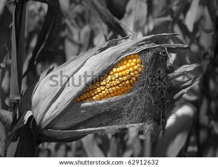 Black and white hand painted Field corn in the field with shallow DOF on display for field testing SOFT FOCUS