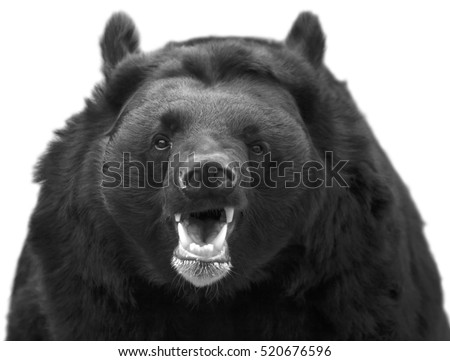Shutterstock Black and white head with open chaps of an Asiatic black bear. The Himalayan omnivorous beast, Ursus thibetanus, beautiful and dangerous. Endangered animal in wildlife.