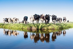black and white holstein cows in green grassy spring meadow reflected in water of canal under blue sky in the netherlands