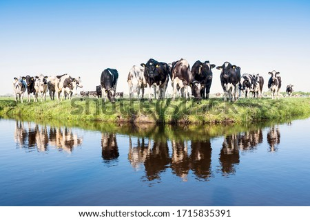 black and white holstein cows in green grassy spring meadow reflected in water of canal under blue sky in the netherlands Foto d'archivio ©