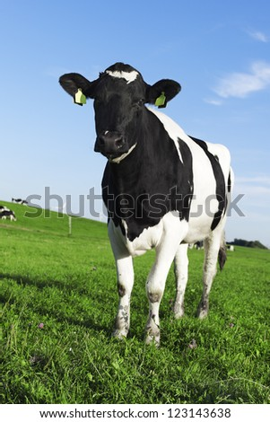Black and white Holstein Friesian cow