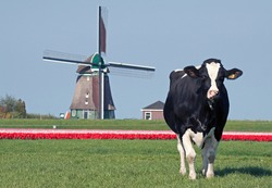 Black and white Holsteiner cow in the pasture with tulips in the background and an old Dutch wooden windmill.