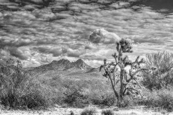 Black and White horizontal image of a Joshua Tree, Ocotillo Cactus, Creosote bush and a mountain in the background