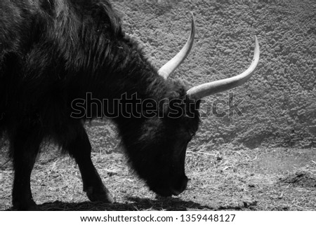 black and white horned animal , domesticated animal in a zoo #1359448127