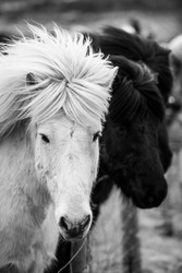 Black and white horses standing in the field in Iceland