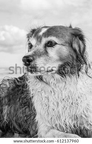 Black and white illustrative type photo image of Welsh sheepdog with wet coat at a beach in Gisborne, New Zealand  #612137960